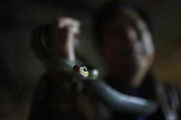 """中国""""蛇村""""年售300万条毒蛇 外媒:蛇农可年入40万"""