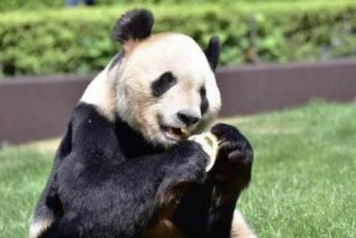 """旅日大熊猫""""良浜""""产仔 大熊猫最大海外家族""""浜"""" 系列再次壮大"""