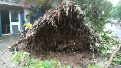 老洋桥附近大树连根拔起 砸向路边门头(组图)
