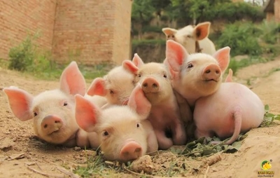 山东已有一人感染猪链球菌 pt电子平台畜牧局紧急排查暂未接到相关病例报告