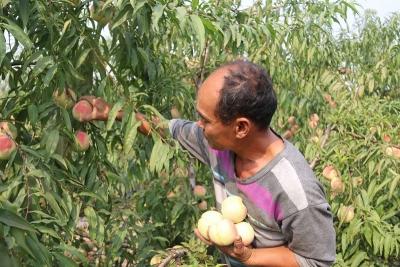 金乡冰桃喜获丰收,绿色经济鼓起农民钱袋子