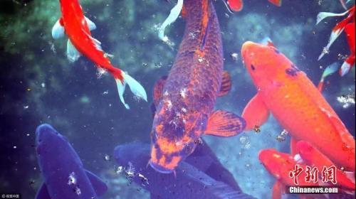 全国都在转锦鲤,这条鱼有什么故事?