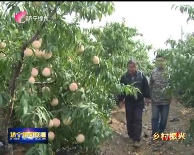 """葛庐山村:桃树变成""""摇钱树"""""""