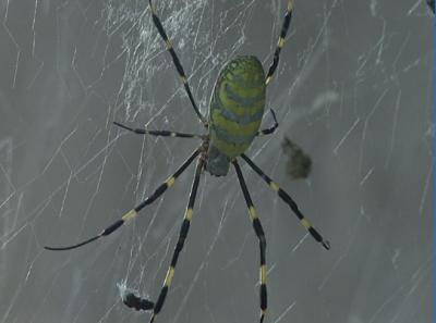 农家院惊现10厘米彩色蜘蛛,你见过吗?