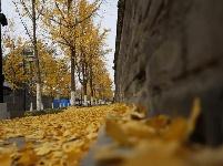 一树黄,城染金——古城曲阜的银杏叶