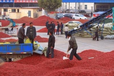 金乡:辣椒产业发展势头强劲
