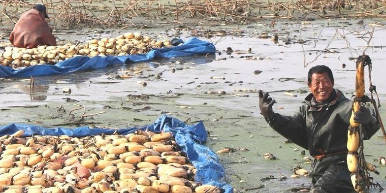 """职业挖藕人:天寒地冻的季节,他们从污泥中""""淘金"""""""
