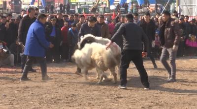 ?斗羊大赛在兖州精彩上演 近200只羊激烈角逐