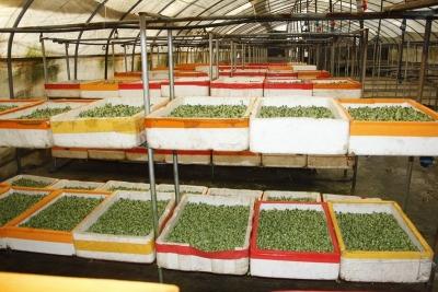 吃出绿色,吃出健康!芽苗菜走俏新兴蔬菜市场