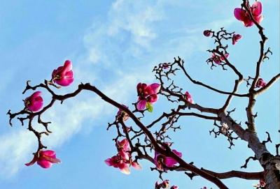 玉蘭花開,驚艷一季