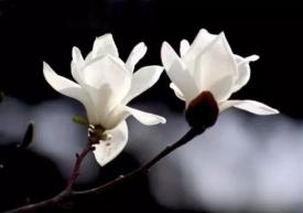 诗歌《花开我来》
