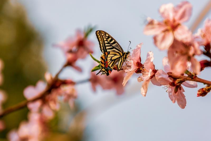 蜂飞蝶舞桃花红 烂漫祥城醉春风