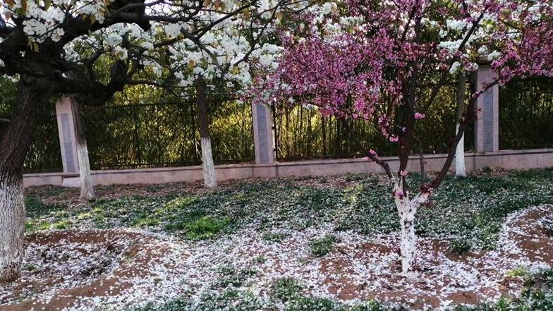 在濟寧,邂逅一場花瓣雨