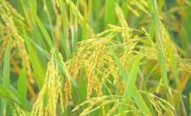 诗歌《水稻》