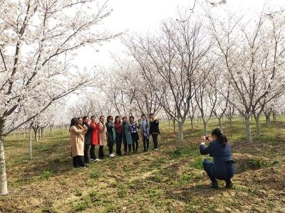 【组图】九龙山下樱花开 静待四方游客来