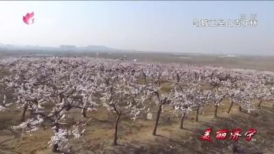 美丽济宁 邹城玉皇山三千亩杏花绽放