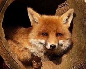 散文《与狐为邻》