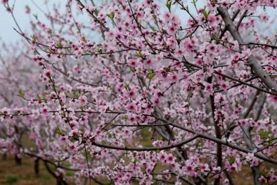 春意俏枝头 冬桃基地百亩桃花竞相盛开