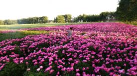 《情系芍药园》