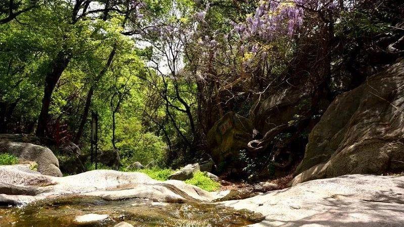 """""""紫""""醉心迷,曲阜山谷里的最美四月天!"""