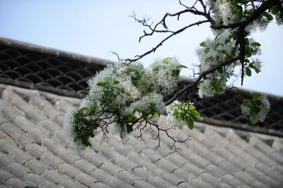 邹城:千年孟府流苏开花事诵会如约至