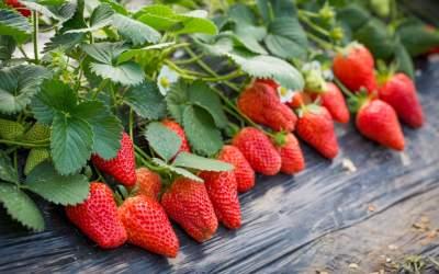 咖啡致癌、草莓是最脏水果…食品谣言如何忽悠公众