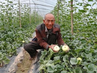再過半個月,金鄉胡集鎮白梨瓜就要上市了