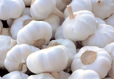 金鄉30萬畝綠色食品原料(大蒜)標準化生產基地通過驗收