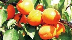 《玉杏熟透》