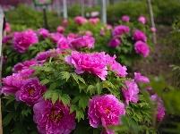 千亩牡丹花开正艳  踏春赏花正当时