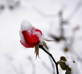 《风中的玫瑰》