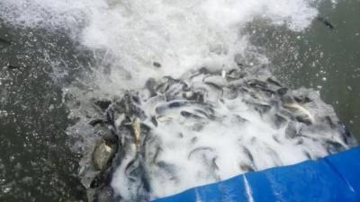 太白湖增殖放流活动,500余万尾鱼苗入湖定居