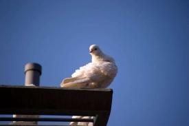 《一只鸽子》