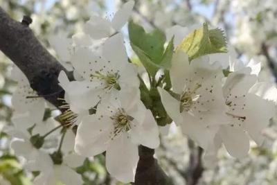 美不勝收!鄒城萬畝櫻桃花如雪綻放