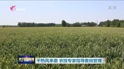 干热风来袭农技专家指导麦田管理