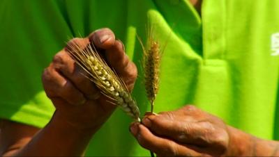 注意啦!小麦防干热风,济宁的麦农们该怎么做?