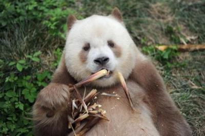 熊猫有棕色的?!生物多样性超乎你想象