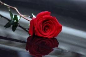 《红玫瑰》