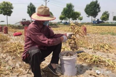 金乡55万亩大蒜迎来收获季 价格翻倍蒜农乐开花