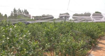 """特点农业催生""""美丽经济""""  百亩蓝莓喜获丰产"""