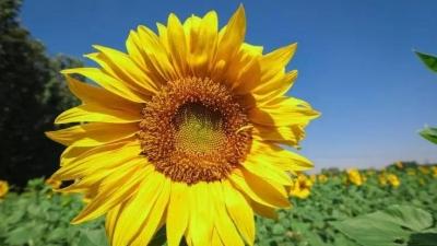周末賞花時 梁山賈堌堆農家寨的向日葵如約開放了