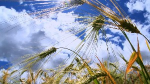 兖州区被认定为国家区域性小麦良?#22336;?#32946;基地