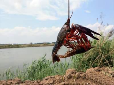 瞧瞧鱼台小龙虾新型养殖模式,再不创新就被淘汰了!
