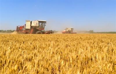畝產835.2公斤,較上次高6.5公斤!冬小麥單產紀錄再次刷新