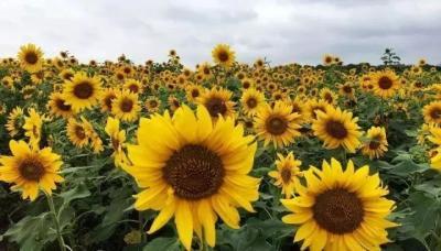 花事可期!這個周末,來一場向日葵與荷花的美麗邂逅