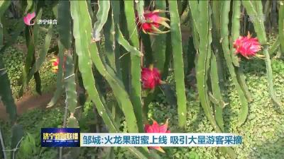 """邹城火龙果甜蜜""""上线""""!来采摘的游客一波接一波"""