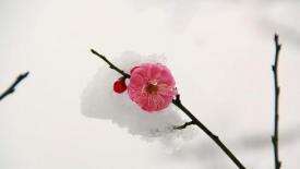 《梅花盛开的地方》