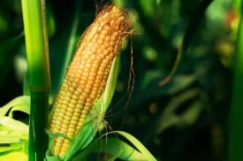 《玉米熟了》