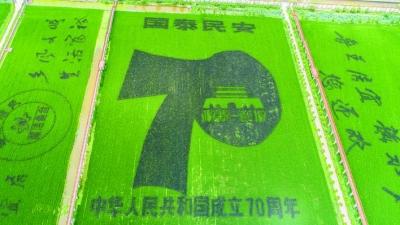 鱼台双色水稻扮作颜料 向新中国70华诞献礼