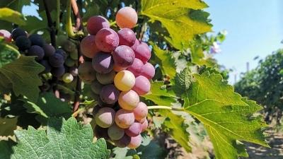 【济宁味道】它是秋天最美的味道——长沟葡萄
